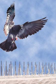 patent-attorney-bird-repellent-spikes-patent-infringement.jpg